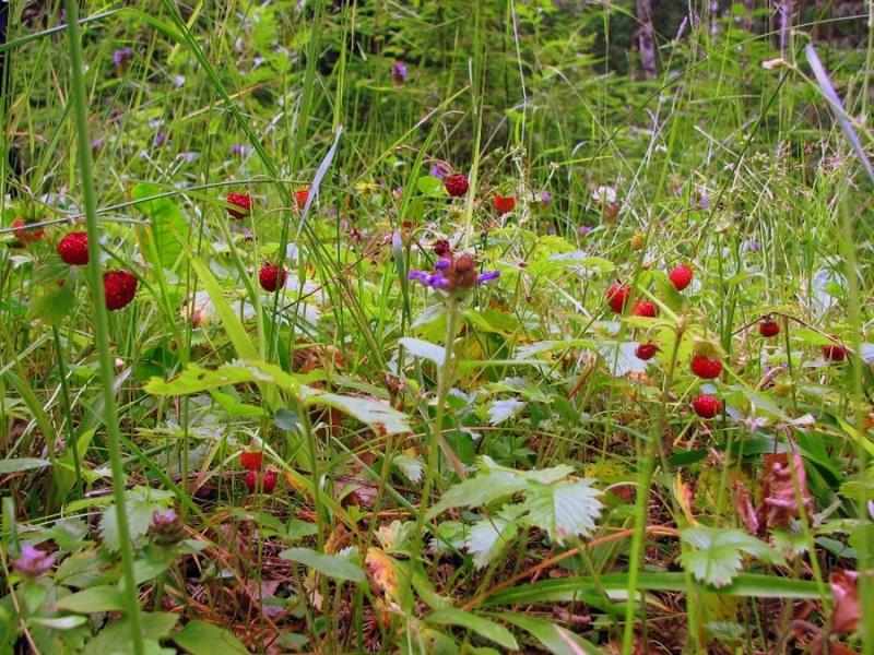 В России хотят принять налог на лесные ягоды