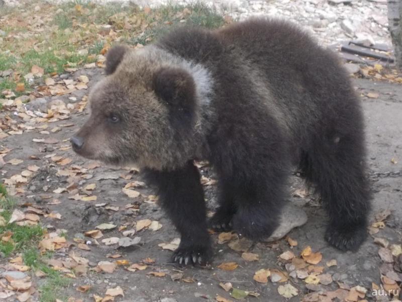 Красноярец продаёт 10-месячную медведицу за руб.