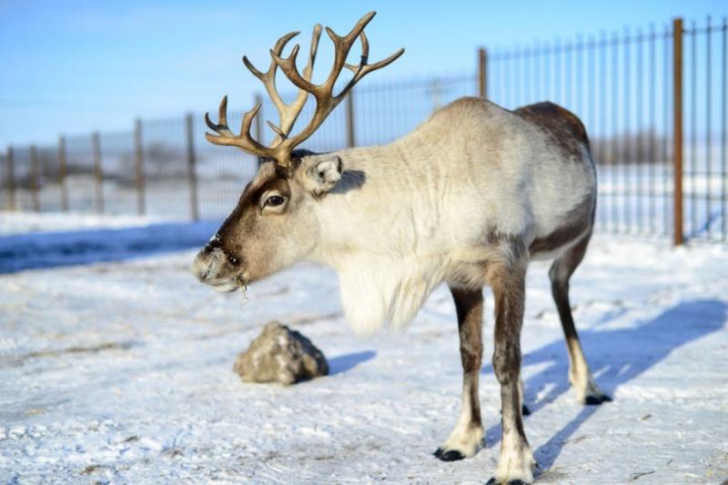 В Красноярском зоопарке оленей кормят грибами вперемежку с мхом