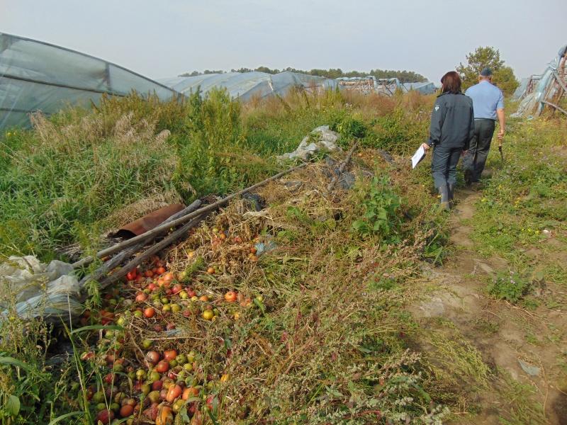 ВКрасноярском крае выращивались томаты икапуста назараженных мышьяком землях