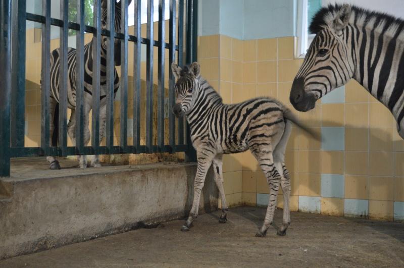 Вкрасноярском парке «Роев ручей» родился детеныш зебры
