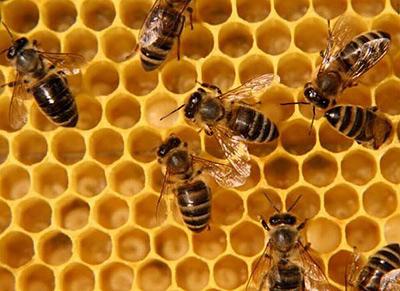 Насевере Красноярского края получила полумиллионную субсидию нанесуществующих пчел