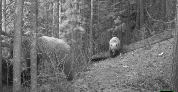 На «Столбах» из-за сырости проснулись медведи